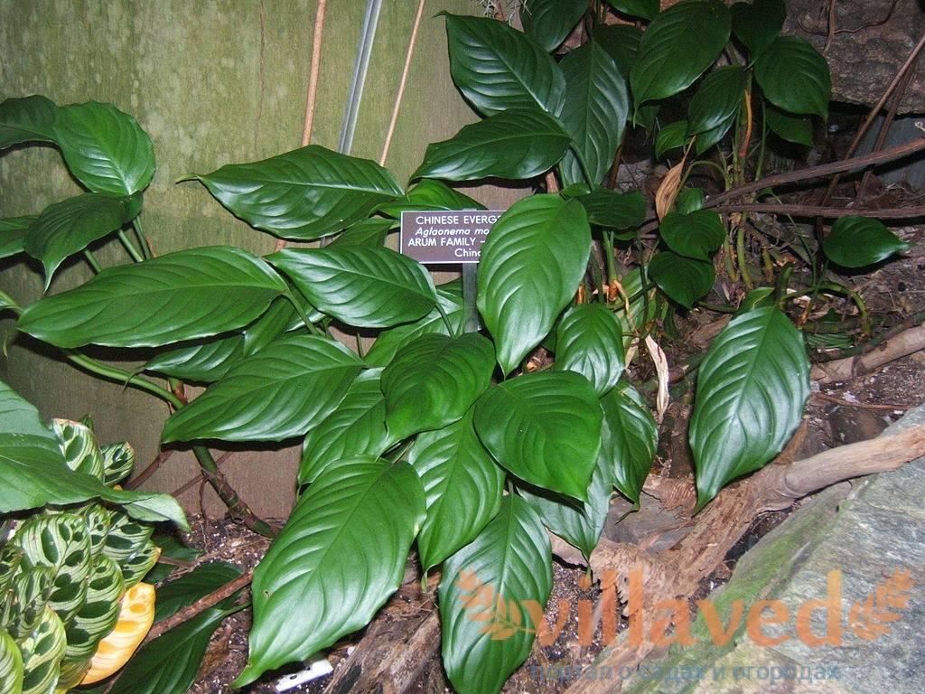 Комнатный цветок аглаонема: сорта, фото и правила ухода