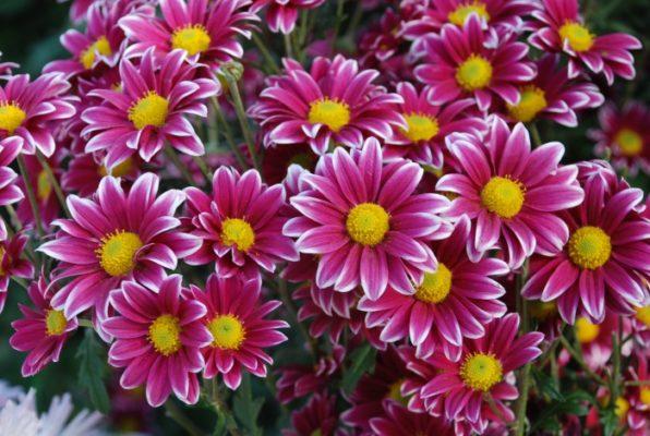 Секреты выращивания горшечных хризантем