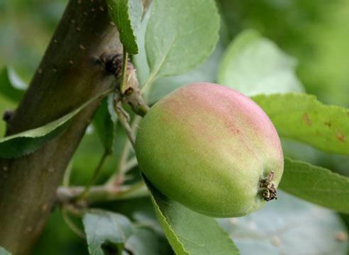 Правила и тонкости посадки яблони с закрытой корневой системой
