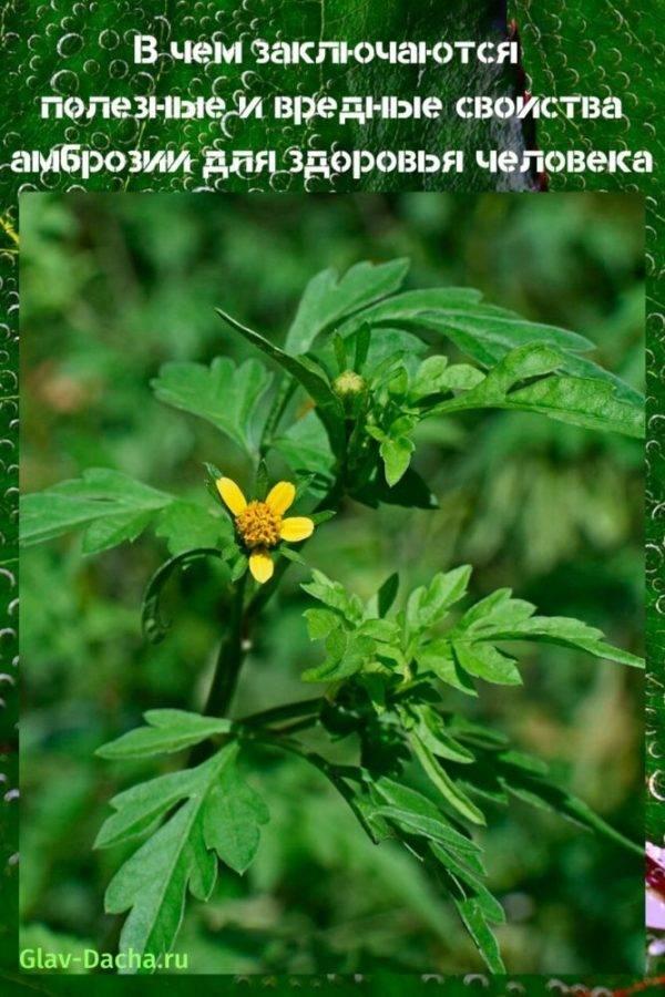 Польза и вред амброзии для человека, запах травы, когда цветет