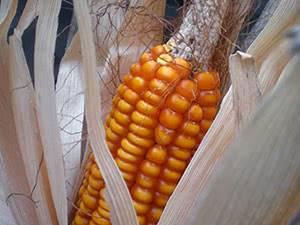 Как и когда убирать кукурузу на зерно и силос?