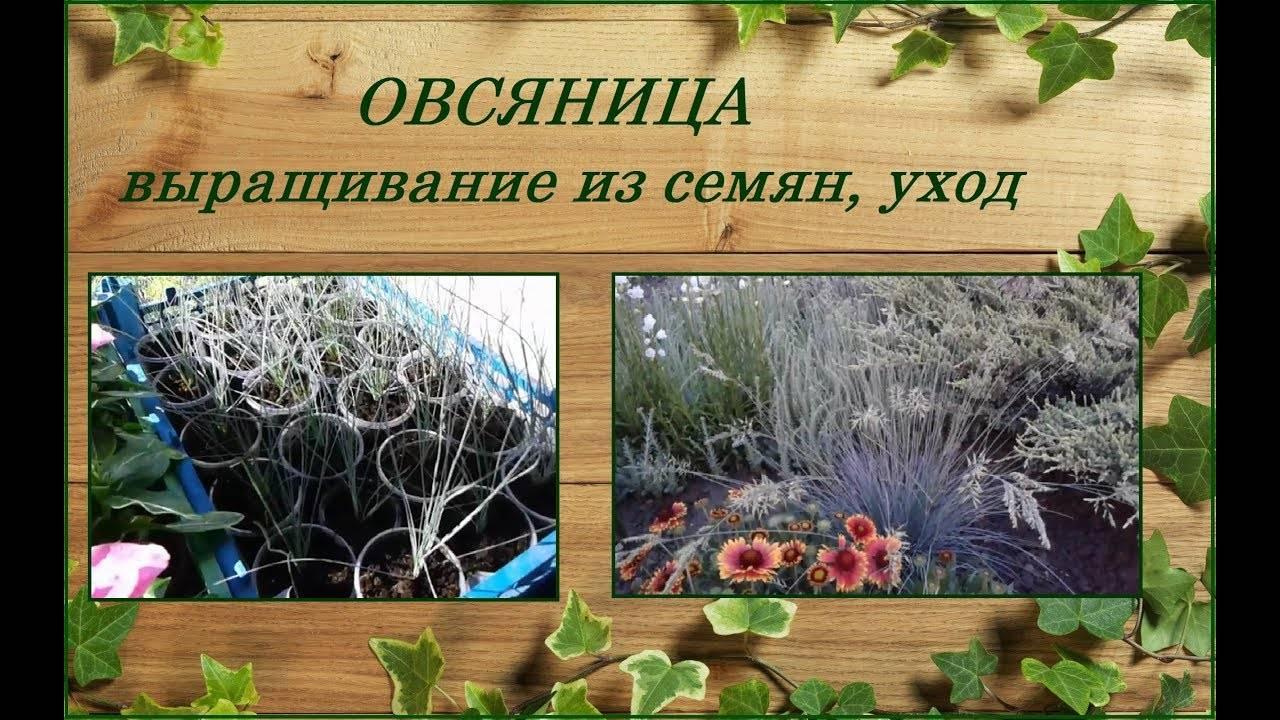 Овсяница сизая: секреты выращивания растения
