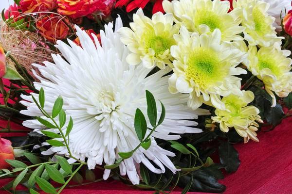 Черенкование хризантем – лучший способ размножения
