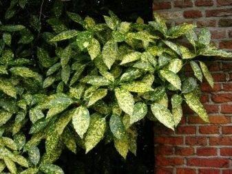 Описание цветка аукуба японская (золотое дерево): уход в домашних условиях