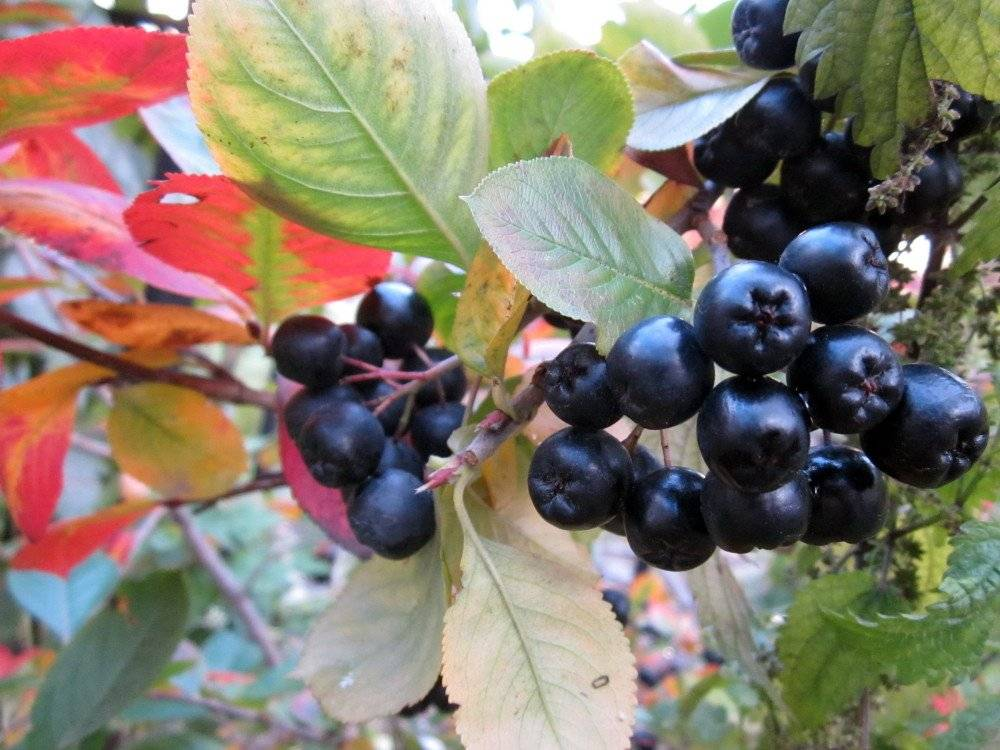 Рябина черная - особенности выращивания, свойства ягод, видео