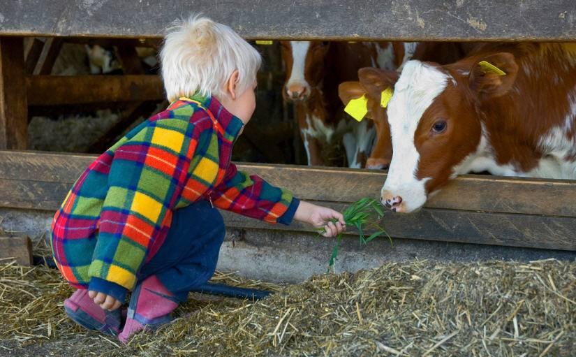 Породы коров для молочного животноводства и их содержание
