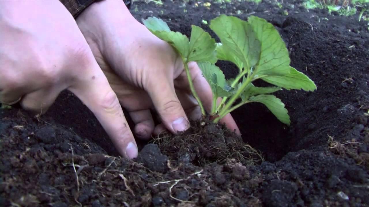 Ремонтантная клубника: особенности ухода после плодоношения