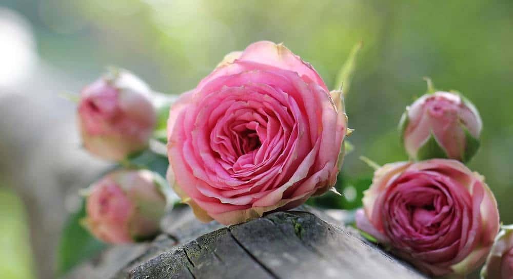 Как вырастить розу в картофеле, способы выращивания и размножения