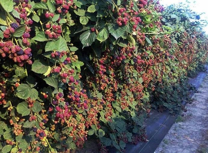 Ежевика осенью — обрезка и уход за садовой ежевикой