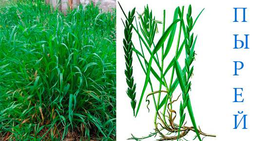 Травяной настой для подкормки растений— натуральное удобрение