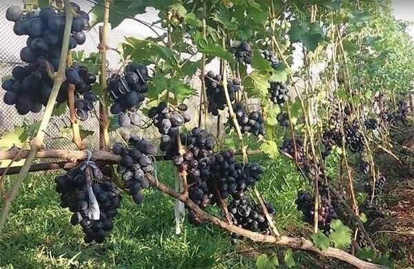 Выращивание винограда «фуршетный»: описание. достоинства и недостатки винограда «фуршетный», особенности сорта