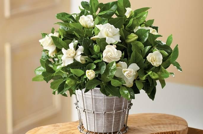 Сложно ли заботиться о гардении? пошаговая инструкция по уходу за цветком в домашних условиях