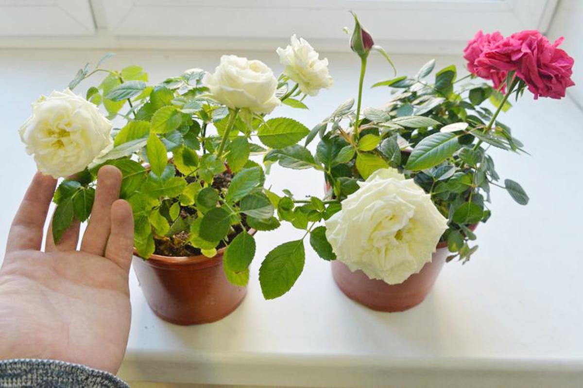 Как бороться с паутинным клещом на комнатной розе