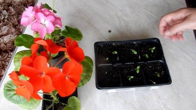 Посадка пеларгонии в 2020 году: сроки посева, выращивание и уход