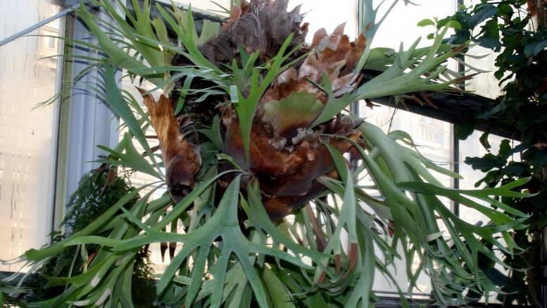 Платицериум (оленьи рога): уход в домашних условиях