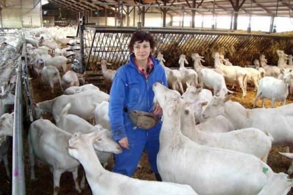 Содержание и кормление коз в домашних условиях
