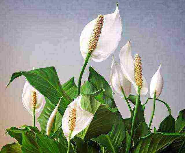 Куда лучше поставить в доме цветок «женское счастье»? где должен стоять спатифиллум по рекомендации мастеров фен-шуй?