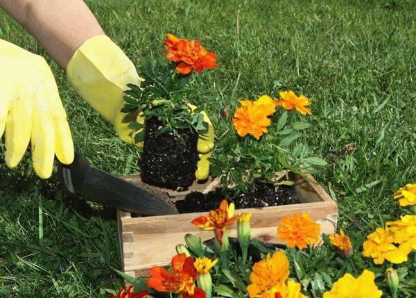 Полезные свойства бархатцев на огороде и в саду