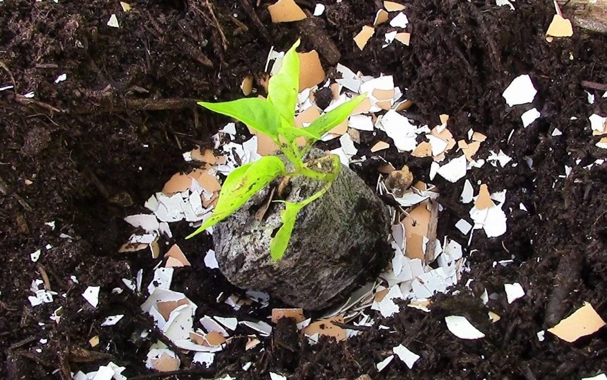 Удобрение из яичной скорлупы - для каких растений, видео