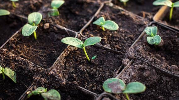 Посадка огурцов на рассаду когда сеять рассаду огурцов выращивание и уход в домашних условиях