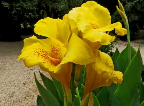 Виды и сорта сциндапсуса для комнатного выращивания — золотистый, перистый, расписной, видео