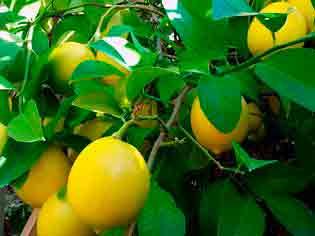 Вечнозеленый лимон мейера: описание, уход за растением, размножение, болезни и вредители