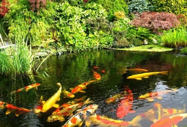 Можно ли завести рыбу в пруду на даче и что для этого нужно