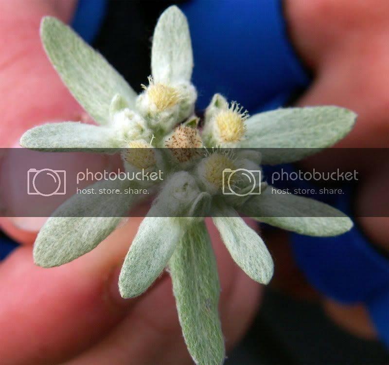 Эдельвейс (edelweiss) — выращивание из семян в саду и в домашних условиях
