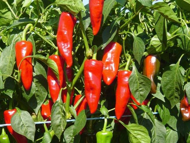 Выращивание рассады перца чили — когда сажать, агротехника, видео