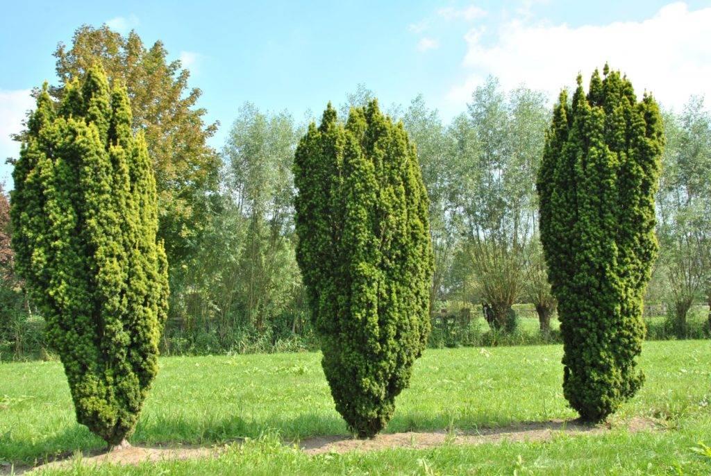 Основные виды дерева тис: канадский, остроконечный, средний