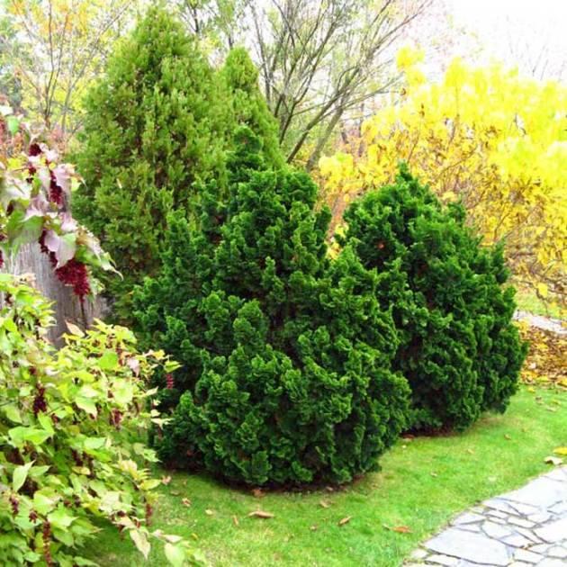 Кипарисовик: виды, особенности посадки и ухода в домашних условиях