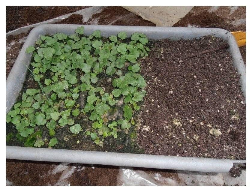 Посадка и выращивание гейхеры в открытом грунте