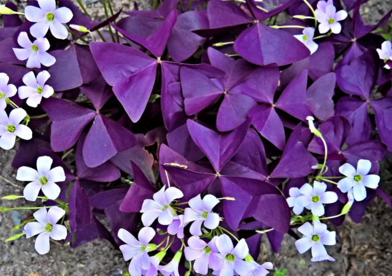 Как ухаживать за кислицей фиолетовой в домашних условиях