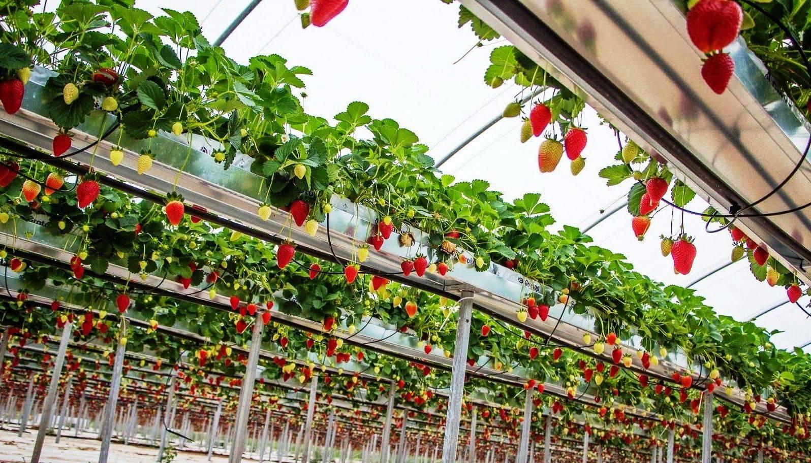 Как вырастить клубнику на гидропонике