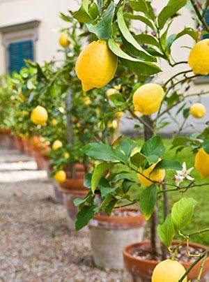 Прививаем лимон в домашних условиях