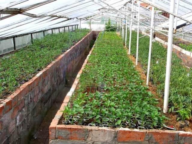 Выращивание хризантемы на срез в теплице