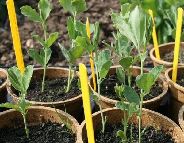 Всё о выращивании гороха: агротехника от а до я