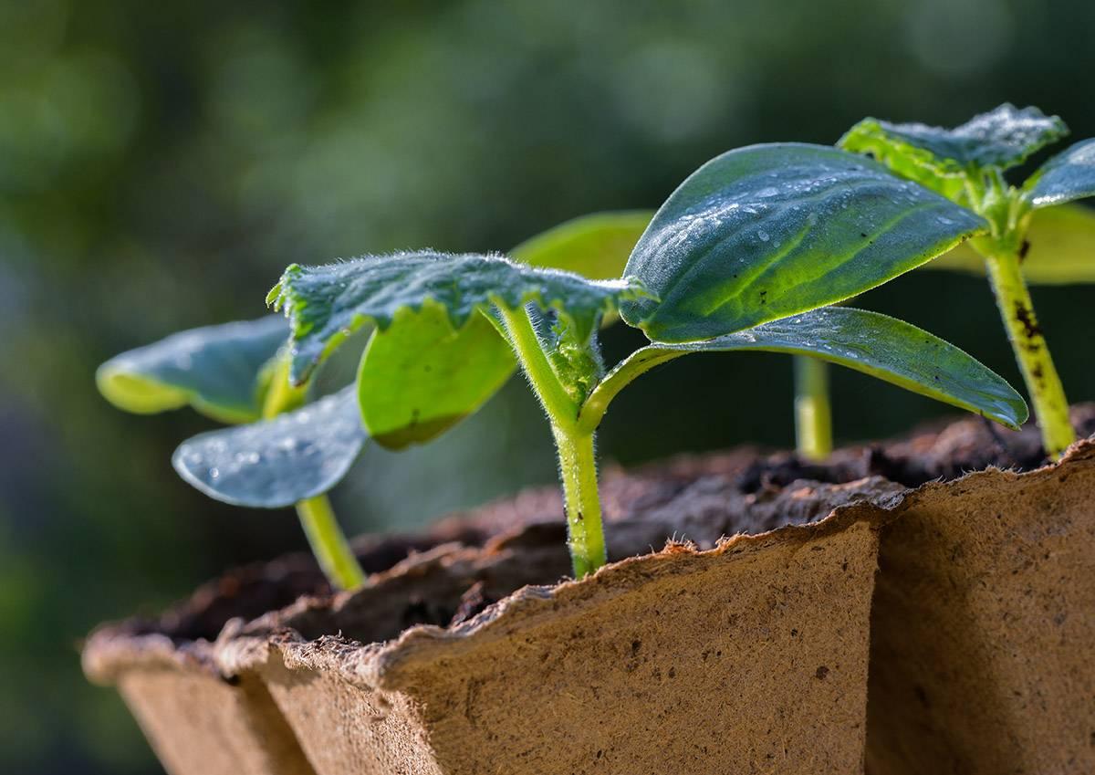 Как пользоваться торфяными горшочками для выращивания рассады?