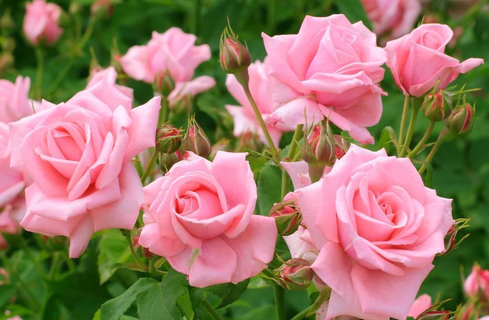 Уход за розами летом на даче в открытом грунте