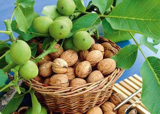 В чем преимущества карликовых сортов грецких орехов? характеристика самых популярных видов