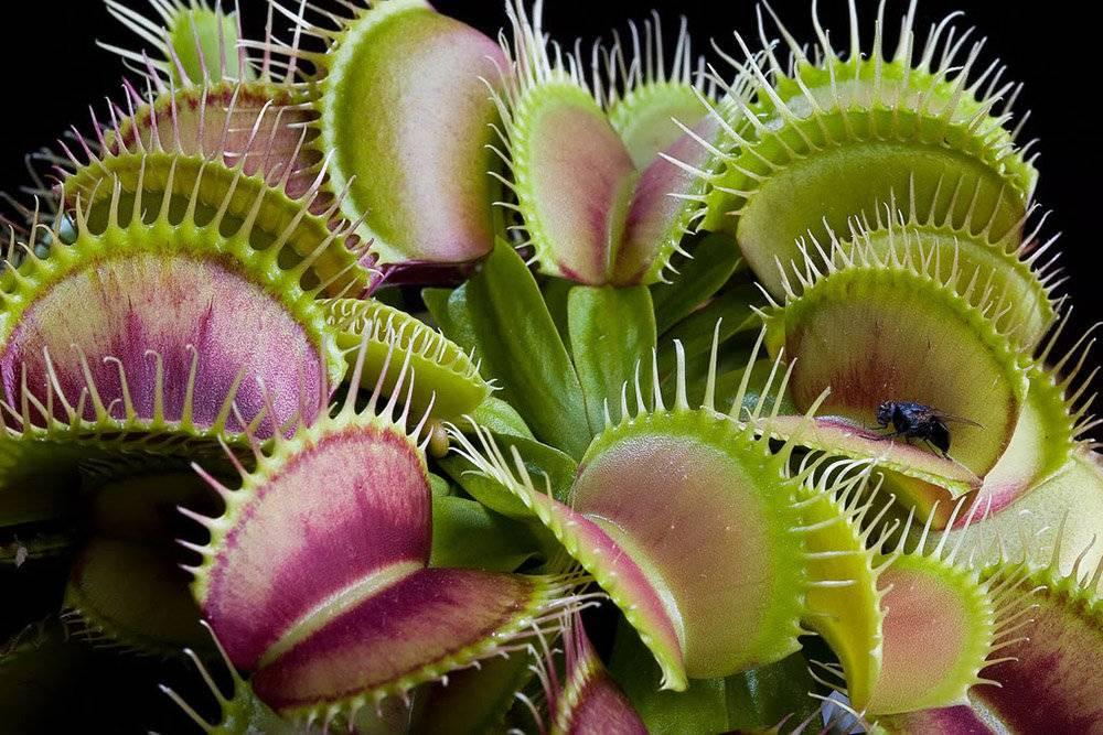 Росянка: описание видов и сортов растения