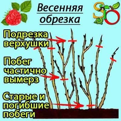 Как обрезать малину весной: инструкции для начинающих