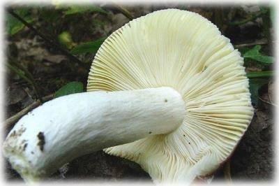 Несъедобные трубчатые грибы