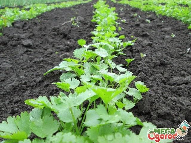 Как вырастить укроп и петрушку на подоконнике