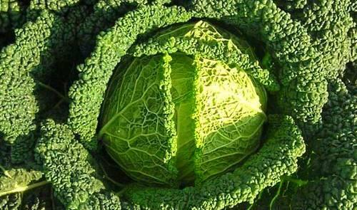 Выращивание савойской капусты