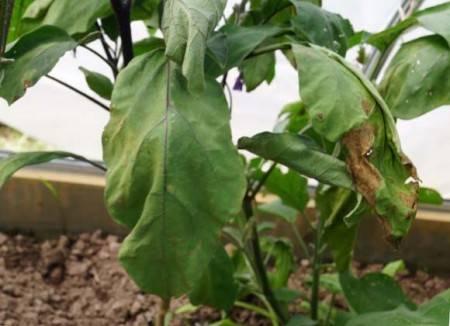 14 причин плохого урожая баклажанов