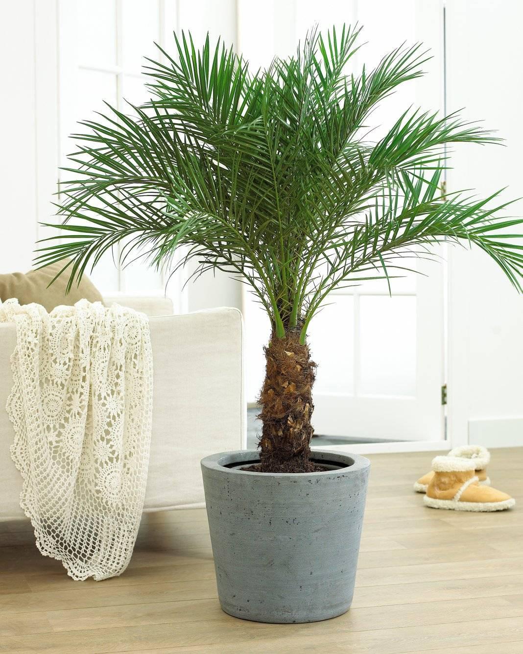 Как вырастить финиковую пальму из косточки в домашних условиях и как ухаживать за красивым вечнозеленым растением