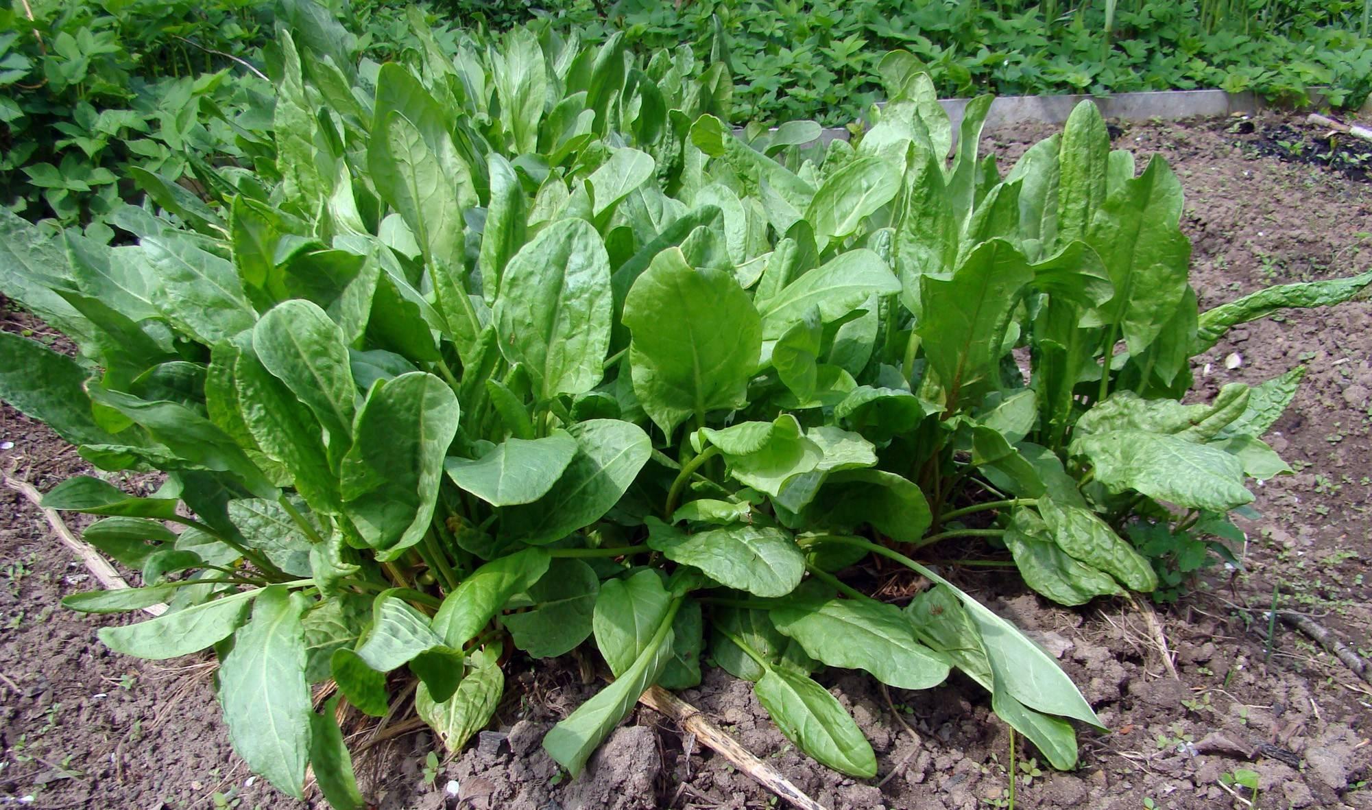 Выращивание щавеля из семян: посадка и уход в открытом грунте