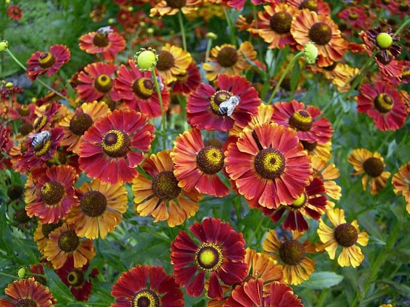 Нигелла дамасская: посадка и уход в открытом грунте. выращивание из семян, когда сажать