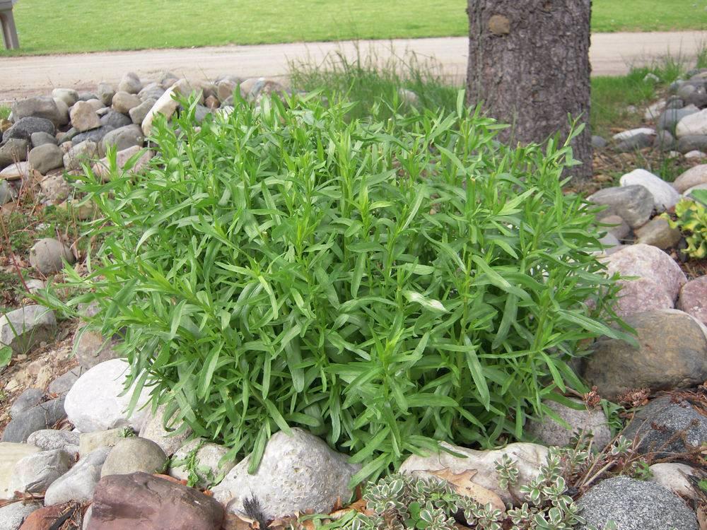 Применение и полезные свойства пряного растения тархун